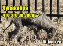 Миниатюра Чупакабра – что это за зверь и как выглядит